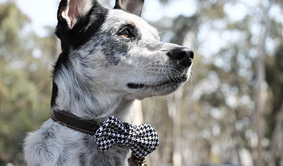 bodhi-hound